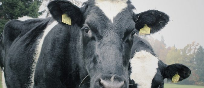 Video: Impact of Bedding Choice on Udder Health of Freestall Herds