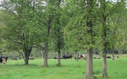 Holstein cattle grazing under trees